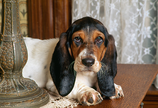 PUP 01 RK0041 01 © Kimball Stock Head Shot Of Basset Hound Laying On Table By Lamp And Lace Curtains