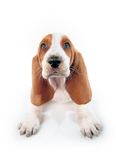 PUP 01 RK0052 18 © Kimball Stock Wide Angle Of Basset Hound Puppy On White Seamless