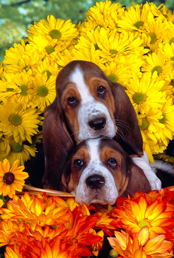 PUP 01 RK0053 13 © Kimball Stock Two Basset Hound Puppies Sitting In Basket By Flowers Studio