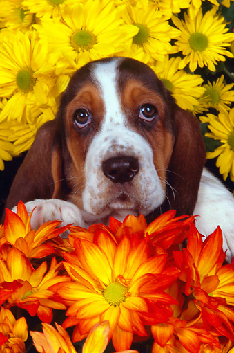 PUP 01 RK0054 14 © Kimball Stock Shoulder Shot Of Basset Hound Puppy Standing In Basket Surrounded By Flowers