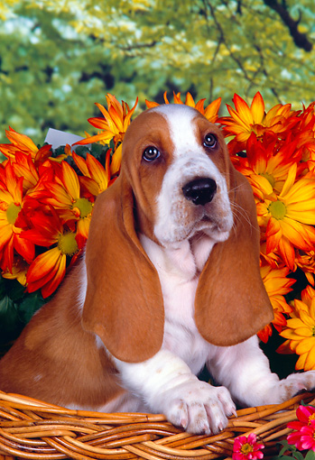 PUP 01 RK0055 05 © Kimball Stock Head Shot Of Basset Hound In Basket With Flowers