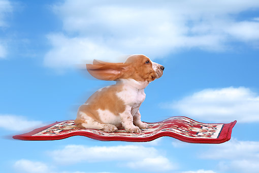 PUP 01 XA0001 01 © Kimball Stock Basset Hound Puppy Riding Magic Carpet