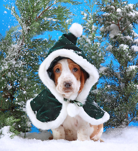 PUP 01 XA0002 01 © Kimball Stock Basset Hound Puppy Wearing Winter Coat
