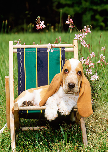PUP 01 CE0006 01 © Kimball Stock Basset Hound Puppy Laying In Beach Chair By Flowers In Field