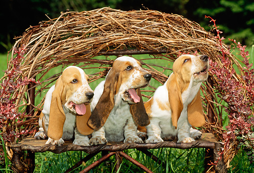 PUP 01 CE0007 01 © Kimball Stock Three Basset Hound Puppies Sitting On Twig Bench In Field