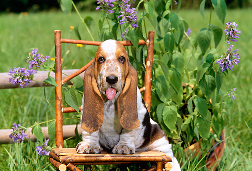 PUP 01 CE0009 01 © Kimball Stock Basset Hound Puppy Sitting On Twig Chair By Flowers And Fence In Field