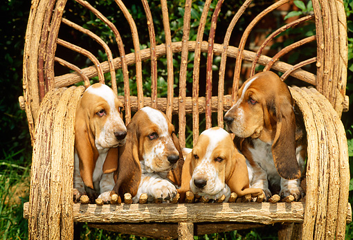 PUP 01 CE0011 01 © Kimball Stock Four Basset Hound Puppies Sitting On Twig Chair