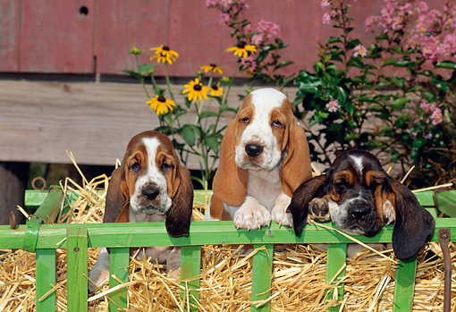 PUP 01 CE0012 01 © Kimball Stock Three Basset Hound Puppies Sitting On Hay In Cart By Barn And Flowers