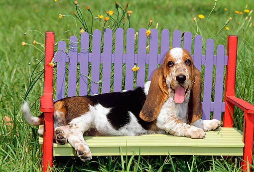 PUP 01 CE0013 01 © Kimball Stock Basset Hound Puppy Laying On Colorful Bench In Field