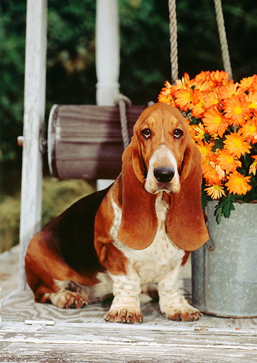 PUP 01 CE0016 01 © Kimball Stock Basset Hound Puppy Sitting On Well By Orange Flowers