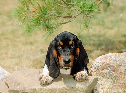 PUP 01 CE0019 01 © Kimball Stock Basset Hound Puppy Laying On Rock By Pine Tree