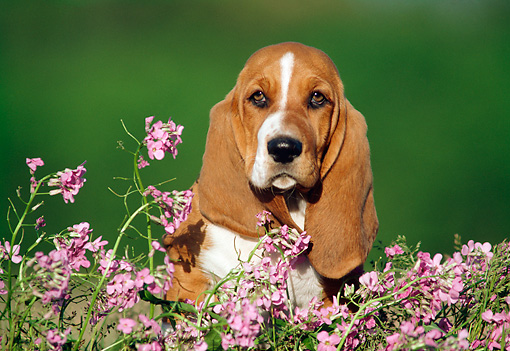 PUP 01 GR0005 02 © Kimball Stock Head Shot Of Basset Hound Puppy Sitting By Pink Flowers