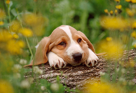 PUP 01 GR0006 01 © Kimball Stock Head Shot Of Basset Hound On Log By Yellow Flowers