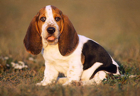 PUP 01 GR0008 03 © Kimball Stock Basset Hound Puppy Sitting On Grass Looking At Camera
