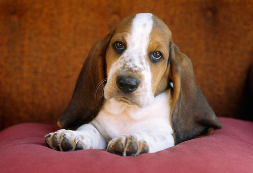 PUP 01 GR0030 01 © Kimball Stock Head On View Of Basset Hound Puppy Laying On Cushion
