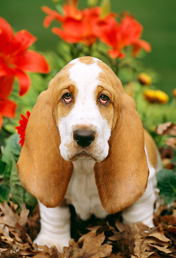 PUP 01 LS0001 01 © Kimball Stock Basset Hound Puppy Sitting On Leaves By Red Flowers
