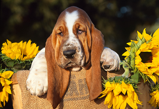PUP 01 LS0003 01 © Kimball Stock Basset Hound Puppy Sitting In Basket By Sunflowers