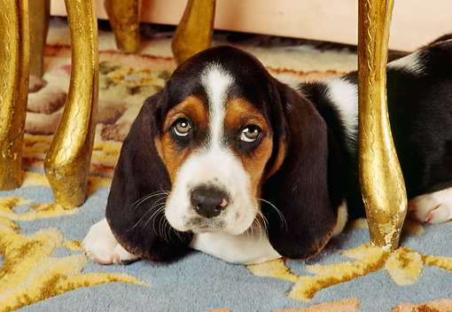 PUP 01 RK0020 02 © Kimball Stock Basset Hound Laying On Carpet Under Table