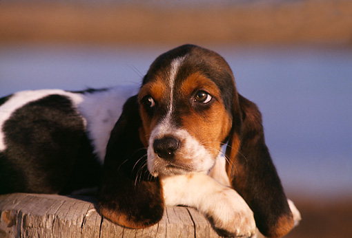 PUP 01 RK0030 01 © Kimball Stock Close Up Of Basset Hound Puppy Laying On Wooden Stump Facing Camera