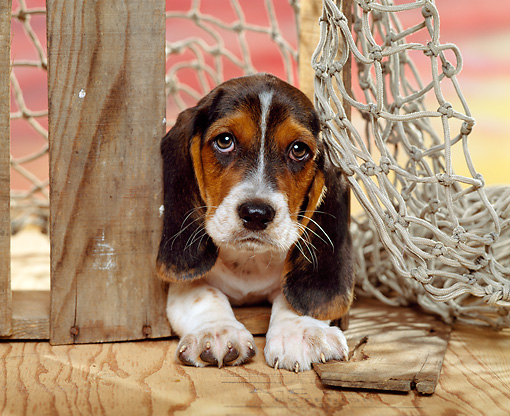 PUP 01 RK0038 04 © Kimball Stock Head Shot Of Basset Hound Puppy Laying By Rope Net