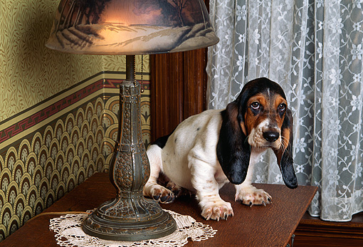 PUP 01 RK0042 01 © Kimball Stock Basset Hound Puppy Laying On Wooden Table By Lamp And Lace Curtains