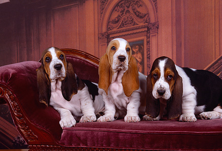 PUP 01 RK0043 07 © Kimball Stock Three Basset Hound Puppies Sitting Together On Chair