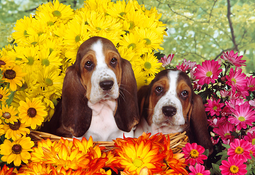 PUP 01 RK0053 06 © Kimball Stock Two Basset Hound Puppies Sitting In Basket By Flowers Studio