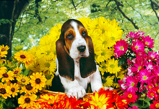 PUP 01 RK0054 02 © Kimball Stock Shoulder Shot Of Basset Hound Puppy Standing In Basket Surrounded By Flowers