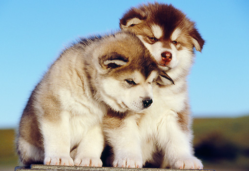PUP 02 RK0136 05 © Kimball Stock Two Alaskan Malamute Puppies Sitting On Cement Block Blue Sky