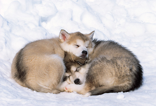PUP 02 LS0002 01 © Kimball Stock Two Alaskan Malamute Puppies Sleeping On Snow