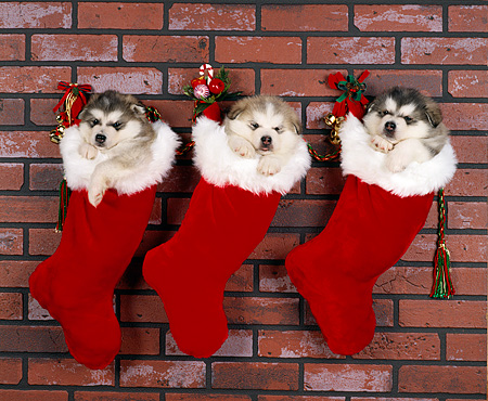 PUP 02 RK0017 02 © Kimball Stock 3 Alaskan Malamutes Hanging  In Christmas Stockings   Against Brick Wall