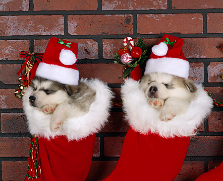 PUP 02 RK0019 01 © Kimball Stock Two Alaskan Malamutes Hanging  In Christmas Stocking With  Hats On Against Brick Wall