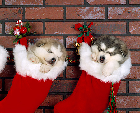 PUP 02 RK0020 01 © Kimball Stock Two Alaskan Malamutes Hanging  In Christmas Stockings   Against Brick Wall