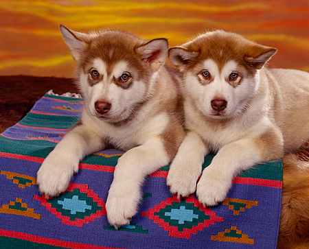 PUP 02 RK0037 02 © Kimball Stock 2 Alaskan Malamute Puppies Laying On Rug Facing Camera Sunset Background