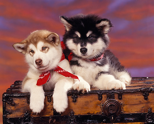 PUP 02 RK0046 04 © Kimball Stock Alaskan Malamute Puppies Laying Together On Chest  Wearing Red Bandanas Sunset Background