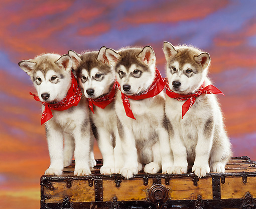 PUP 02 RK0048 04 © Kimball Stock A Group Of Alaskan Malamute Puppies Sitting Closely Togther On Chest Wearing Red Bandanas Sunset Background