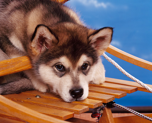 PUP 02 RK0088 02 © Kimball Stock Close Up Head Shot Of Alaskan Malamute Puppy Leaning Head On Sled Blue Background
