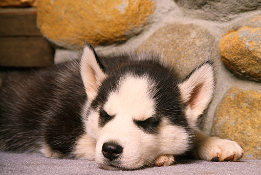 PUP 02 RK0121 02 © Kimball Stock Head Shot Of Alaskan Malamute Puppy Laying On Rug By Stone Wall