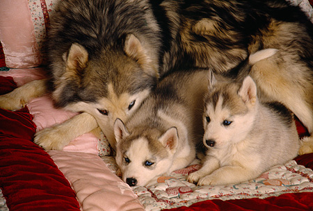 PUP 02 RK0123 05 © Kimball Stock Alaskan Malamute Mother Laying On Quilt With Two Puppies