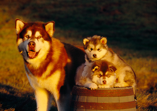 PUP 02 RK0134 04 © Kimball Stock Alaskan Malamute Adult Standing By Two Puppies On Barrel At Dusk