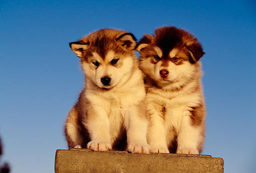 PUP 02 RK0136 04 © Kimball Stock Two Alaskan Malamute Puppies Sitting On Cement Block Blue Sky