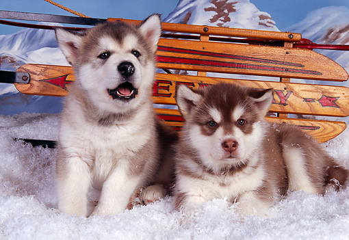 PUP 02 RK0140 04 © Kimball Stock Alaskan Malamute Puppies Laying On Snow By Sled Studio