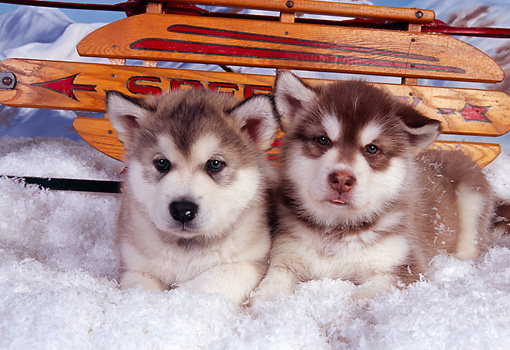 PUP 02 RK0140 05 © Kimball Stock Alaskan Malamute Puppies Laying On Snow By Sled Studio