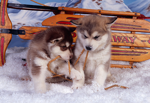 PUP 02 RK0141 05 © Kimball Stock Two Alaskan Malamute Puppies Playing With Rope On Snow By Sled