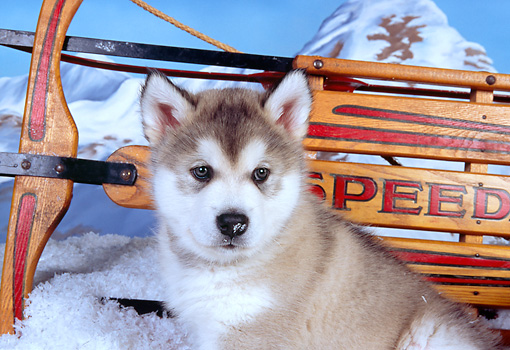 PUP 02 RK0144 02 © Kimball Stock Shoulder Shot Of Alaskan Malamute Puppy By Sled