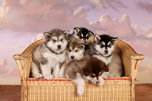 PUP 02 RK0155 01 © Kimball Stock A Group Of Alaskan Malamute Puppies On Chair