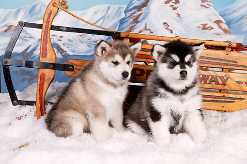 PUP 02 RK0156 01 © Kimball Stock Two Alaskan Malamute Puppies Sitting By Sled On Snow