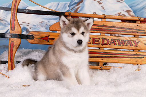 PUP 02 RK0157 01 © Kimball Stock Alaskan Malamute Puppy Sitting By Sled On Snow