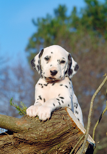 PUP 03 CB0003 01 © Kimball Stock Dalmatian Puppy Leaning On Log