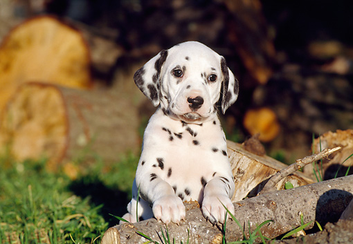 PUP 03 CB0004 01 © Kimball Stock Dalmatian Puppy Leaning On Log